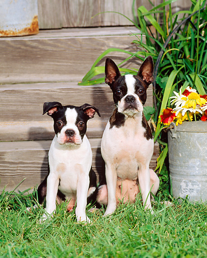 PUP 04 CE0010 01 © Kimball Stock Boston Terrier Mother And Puppy Sitting On Grass By Flowers And Barn
