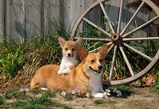 PUP 04 CE0011 01 © Kimball Stock Pembroke Welsh Corgi Mother And Puppy Laying By Wagon Wheel And Barn