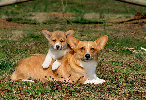 PUP 04 CE0012 01 © Kimball Stock Pembroke Welsh Corgi Mother And Puppy Laying On Grass