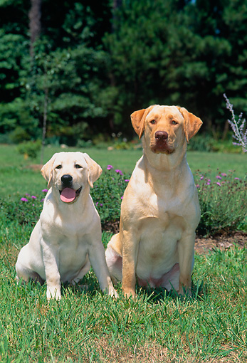 PUP 04 CE0013 01 © Kimball Stock Yellow Labrador Retriever Adult And Puppy Sitting On Grass By Flowers Trees