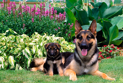 PUP 04 CE0015 01 © Kimball Stock German Shepherd Puppy And Adult Male Sitting On Grass In Garden