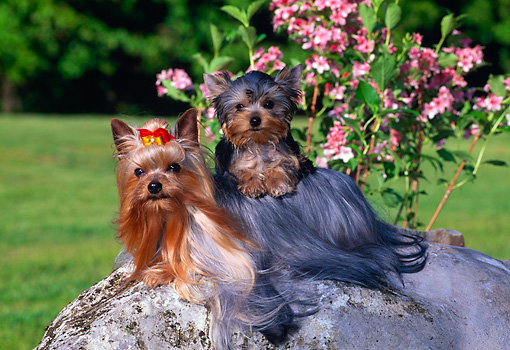 PUP 04 CE0018 01 © Kimball Stock Yorkshire Terrier Adult Laying On Rock And Puppy On Back By Pink Flowers