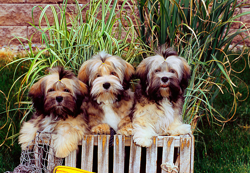 PUP 04 CE0019 01 © Kimball Stock Lhasa Apso Adults And Puppy Standing In Crate By Tall Grass
