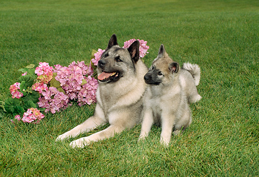 PUP 04 FA0001 01 © Kimball Stock Norwegian Elkhound Puppy Sitting By Mother On Grass