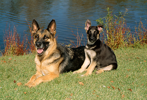 PUP 04 FA0002 01 © Kimball Stock German Shepherd Puppy Sitting Next To Mother By Pond