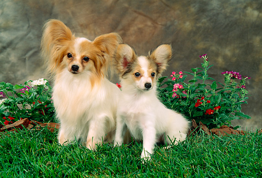 PUP 04 FA0004 01 © Kimball Stock Papillon Puppy Sitting By Mother On Grass