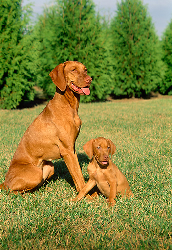 PUP 04 FA0006 01 © Kimball Stock Vizsla Puppy Sitting With Mother On Grass By Trees
