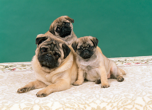 PUP 04 FA0011 01 © Kimball Stock Pug Mother And Two Puppies Laying On Printed Cloth Studio