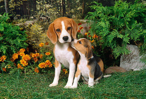 PUP 04 FA0015 01 © Kimball Stock Beagle Mother And Puppy Sitting On Grass By Flowers And Shrubs