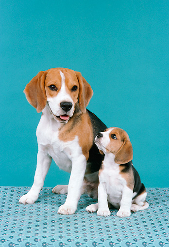 PUP 04 FA0016 01 © Kimball Stock Beagle Mother And Puppy Sitting Studio