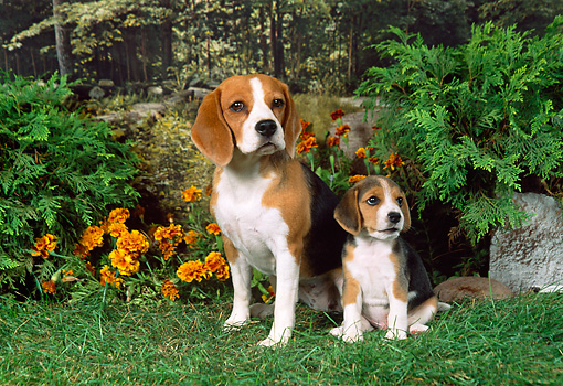 PUP 04 FA0017 01 © Kimball Stock Beagle Mother And Puppy Sitting On Grass By Flowers And Shrubs
