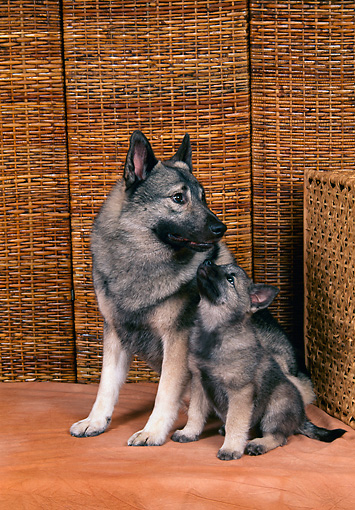 PUP 04 FA0019 01 © Kimball Stock Norwegian Elkhound Mother And Puppy Sitting By Wicker Studio