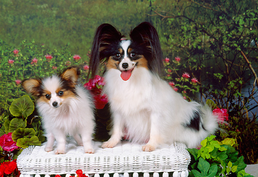 PUP 04 FA0020 01 © Kimball Stock Papillon Mother And Puppy Sitting On White Wicker Bench In Garden