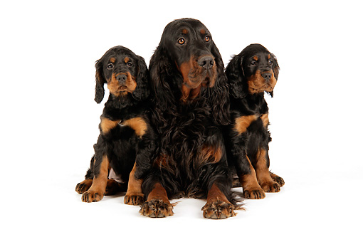 PUP 04 JD0001 01 © Kimball Stock Gordon Setter Mother And Puppies Sitting On White Seamless Studio