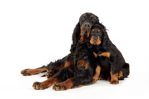 PUP 04 JD0002 01 © Kimball Stock Gordon Setter Mother And Puppy Cuddling On White Seamless Studio