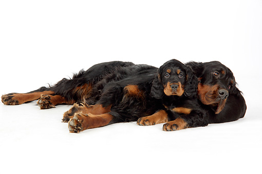 PUP 04 JD0003 01 © Kimball Stock Gordon Setter Mother And Puppy Laying On White Seamless Studio