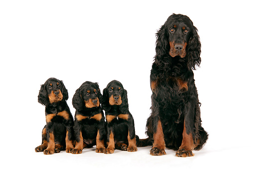 PUP 04 JD0004 01 © Kimball Stock Gordon Setter Mother And Three Puppies Sitting On White Seamless Studio