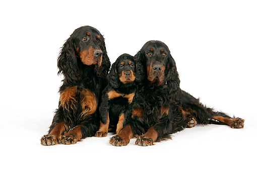 PUP 04 JD0005 01 © Kimball Stock Gordon Setter Adults And Puppy Laying On White Seamless Studio