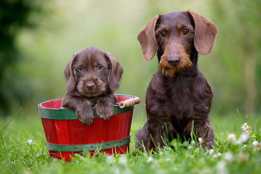 PUP 04 KH0001 01 © Kimball Stock Mother Chocolate Wirehaired Dachshund And Puppy In Basket Sitting In Field