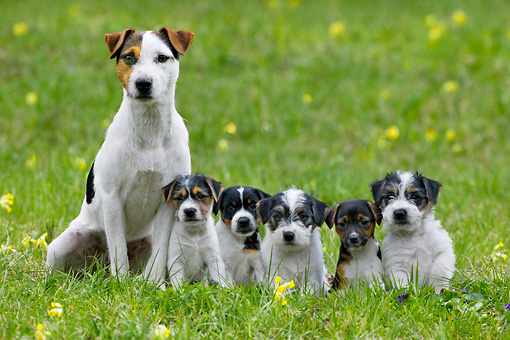 PUP 04 KH0002 01 © Kimball Stock Parson Russell Terrier Mother And Five Puppies Sitting In Field