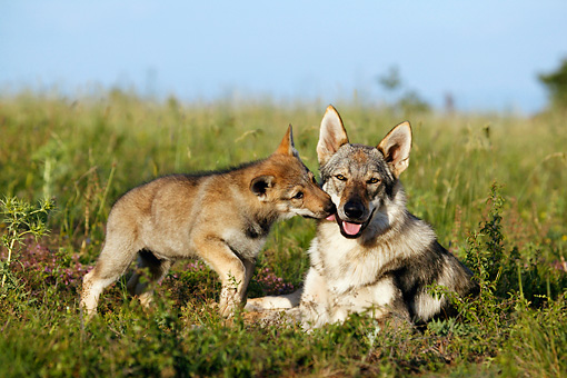 PUP 04 KH0003 01 © Kimball Stock Czechoslovakian Wolfdog Puppy Kissing Mother Laying In Field