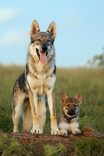 PUP 04 KH0004 01 © Kimball Stock Czechoslovakian Wolfdog Mother Standing And Puppy Laying In Field