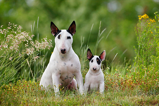 PUP 04 KH0006 01 © Kimball Stock Mother Bull Terrier And Puppy Sitting In Field