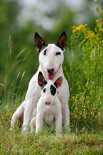 PUP 04 KH0007 01 © Kimball Stock Bull Terrier Puppy Sitting In Front Of Mother In Field