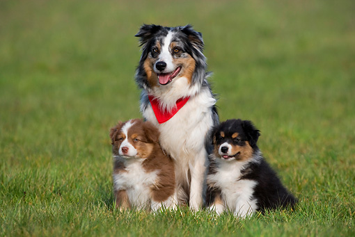 PUP 04 KH0011 01 © Kimball Stock Australian Shepherd Mother And Two Puppies Sitting In Field