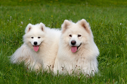 PUP 04 KH0013 01 © Kimball Stock Samoyed Puppy And Mother Laying In Field