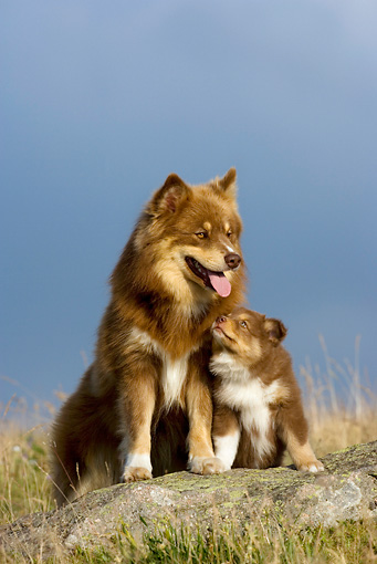 PUP 04 KH0014 01 © Kimball Stock Finnish Lapphund Mother And Puppy Looking Up Sitting On Rock In Field