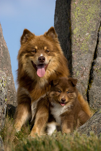 PUP 04 KH0015 01 © Kimball Stock Finnish Lapphund Mother And Puppy Sitting By Boulders In Field