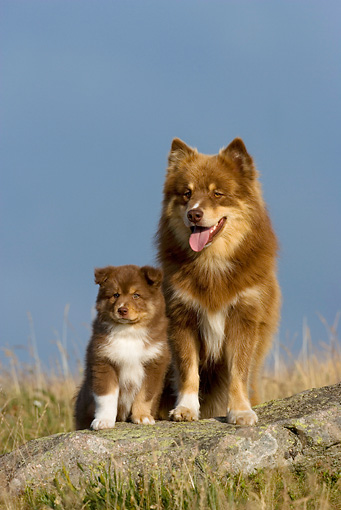 PUP 04 KH0016 01 © Kimball Stock Finnish Lapphund Puppy And Mother Sitting On Rock In Field