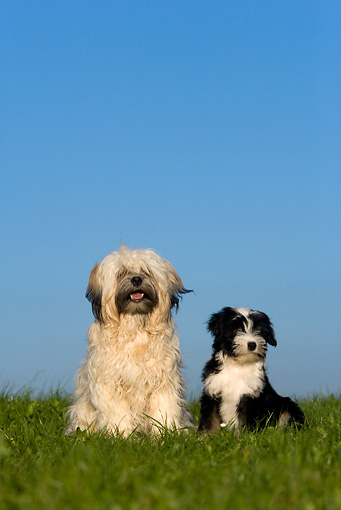 PUP 04 KH0017 01 © Kimball Stock Tibetan Terrier Mother And Puppy Sitting In Field