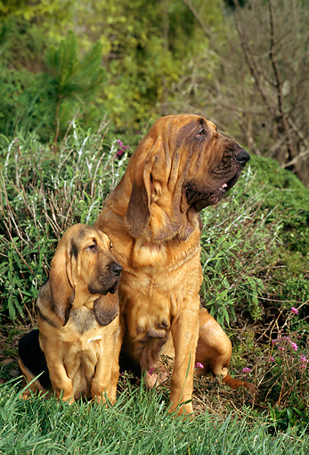 PUP 04 RC0001 01 © Kimball Stock Portrait Of Bloodhound Puppy And Adult Sitting On Grass By Shrubs