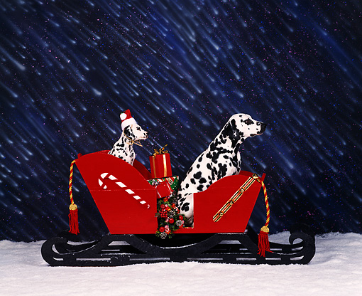 PUP 04 RK0002 06 © Kimball Stock Dalmatians Sitting In A Sled In Snow Puppy Wearing Christmas Hat