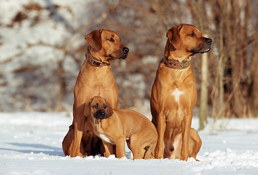 PUP 04 SS0002 01 © Kimball Stock Rhodesian Ridgeback Family Sitting On Snow