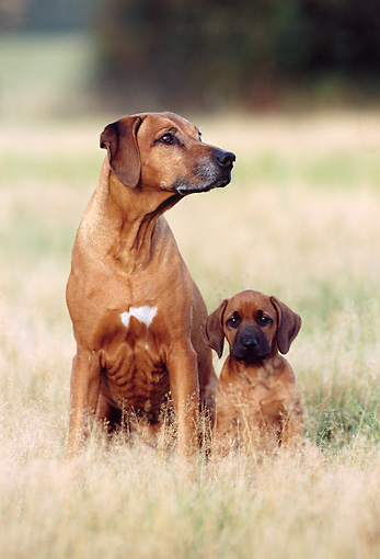 PUP 04 SS0003 01 © Kimball Stock Rhodesian Ridgeback Mother And Puppy Sitting In Field