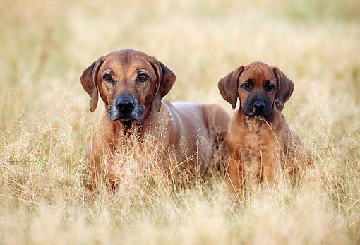 PUP 04 SS0004 01 © Kimball Stock Rhodesian Ridgeback Mother And Puppy Laying In Field
