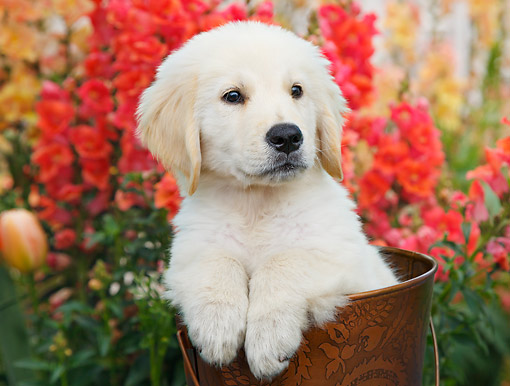 PUP 05 BK0005 01 © Kimball Stock Yellow Labrador Retriever Puppy Sitting In Bucket In Garden