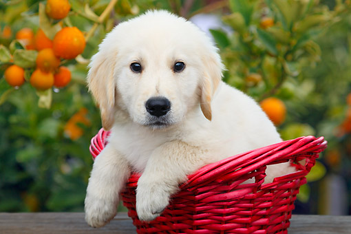 PUP 05 BK0006 01 © Kimball Stock Yellow Labrador Retriever Puppy Sitting In Wicker Basket By Fruit Tree