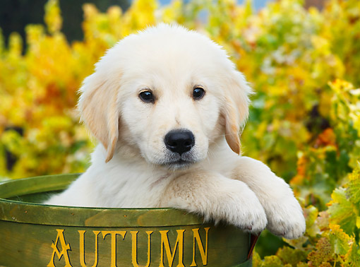 PUP 05 BK0007 01 © Kimball Stock Yellow Labrador Retriever Puppy Sitting In Bucket