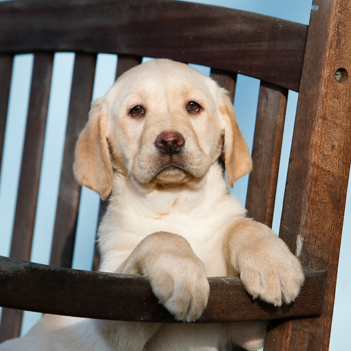 PUP 05 CB0015 01 © Kimball Stock Yellow Labrador Puppy Sitting In Chair