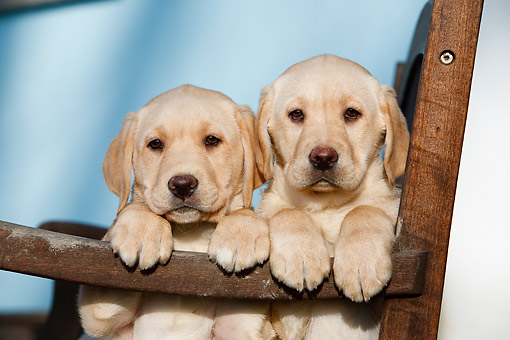 PUP 05 CB0016 01 © Kimball Stock Yellow Labrador Puppies Sitting In Chair