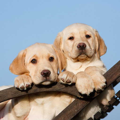 PUP 05 CB0017 01 © Kimball Stock Yellow Labrador Puppies Sitting In Chair