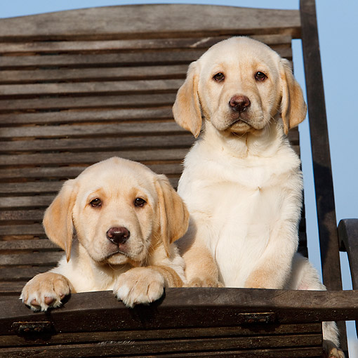 PUP 05 CB0018 01 © Kimball Stock Yellow Labrador Puppies Sitting In Chair
