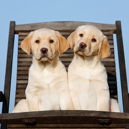 PUP 05 CB0019 01 © Kimball Stock Yellow Labrador Puppies Sitting In Chair