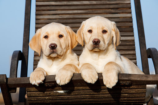 PUP 05 CB0020 01 © Kimball Stock Yellow Labrador Puppies Laying In Chair