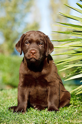 PUP 05 CB0025 01 © Kimball Stock Chocolate Labrador Puppy Sitting In Grass