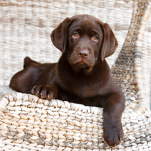 PUP 05 CB0027 01 © Kimball Stock Chocolate Labrador Puppy Sitting In Chair